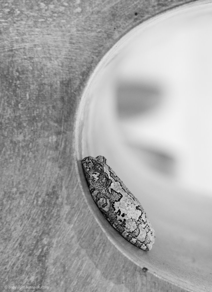 Eastern Gray Tree Frog Photo