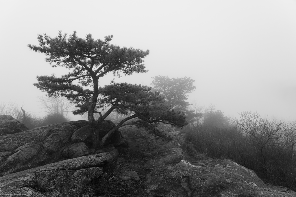 Foggy Pitch Pine photo