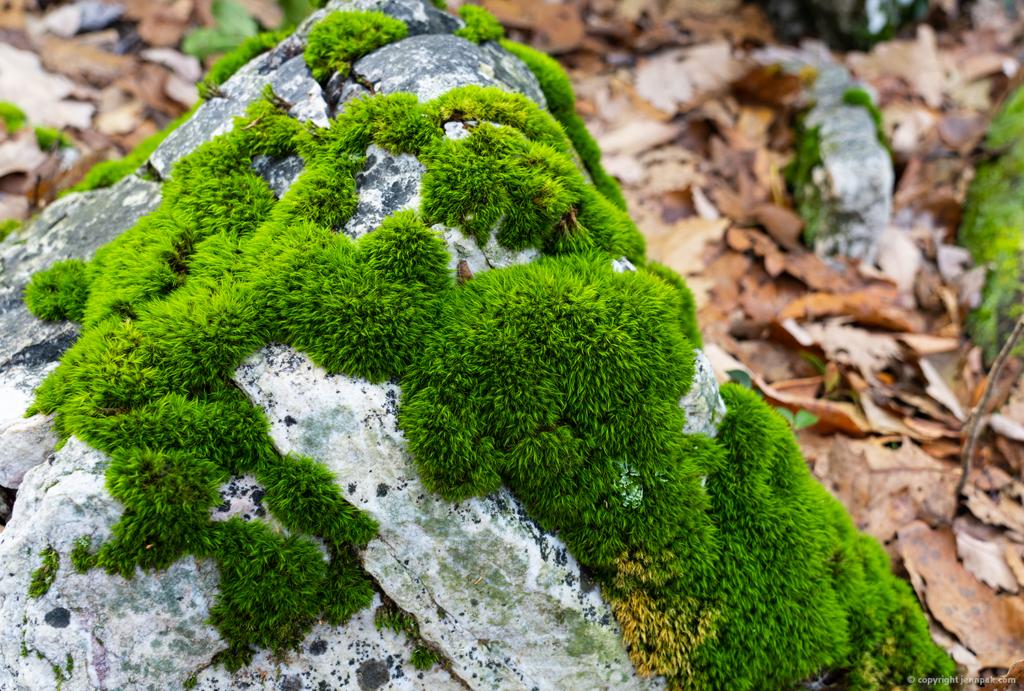 Rock Moss photo