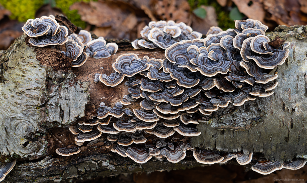 Turkey Tails photo
